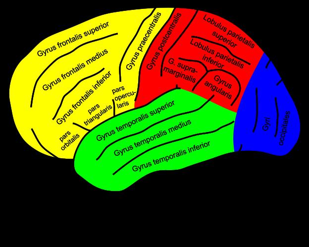 Superlearning berücksichtigt den biologischen aufbau und die